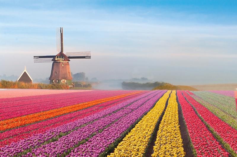 Tulipas holandesas em Amsterdã